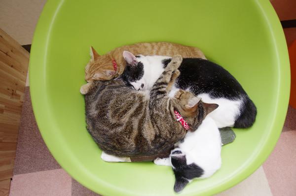 カフェ ニャンコプラス 猫 昼寝
