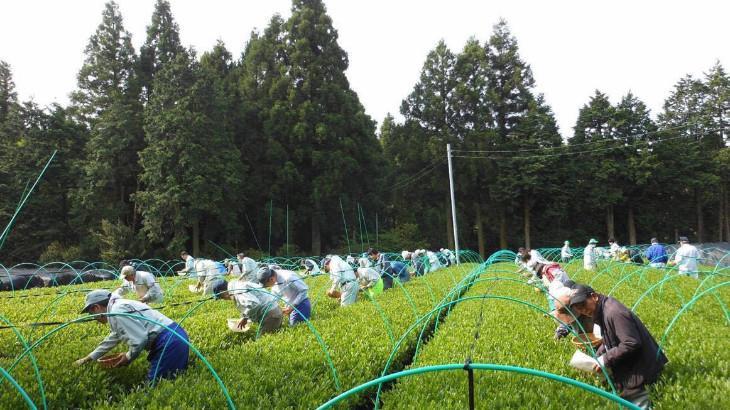世知原茶の茶摘み2