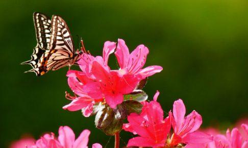 つつじと蝶