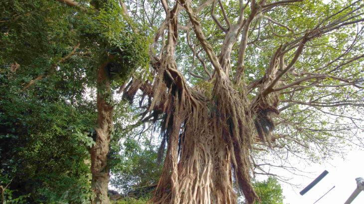 黒島19 アコウ樹