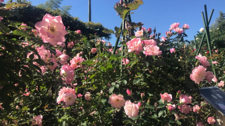 森きららのバラ1