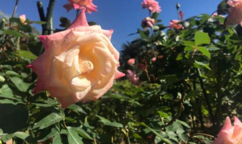 森きららのバラ2