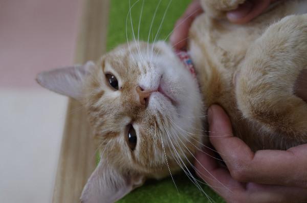 カフェ ニャンコプラス 猫19
