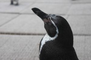 森きららのペンギン1