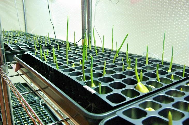 発芽にんにく水耕栽培