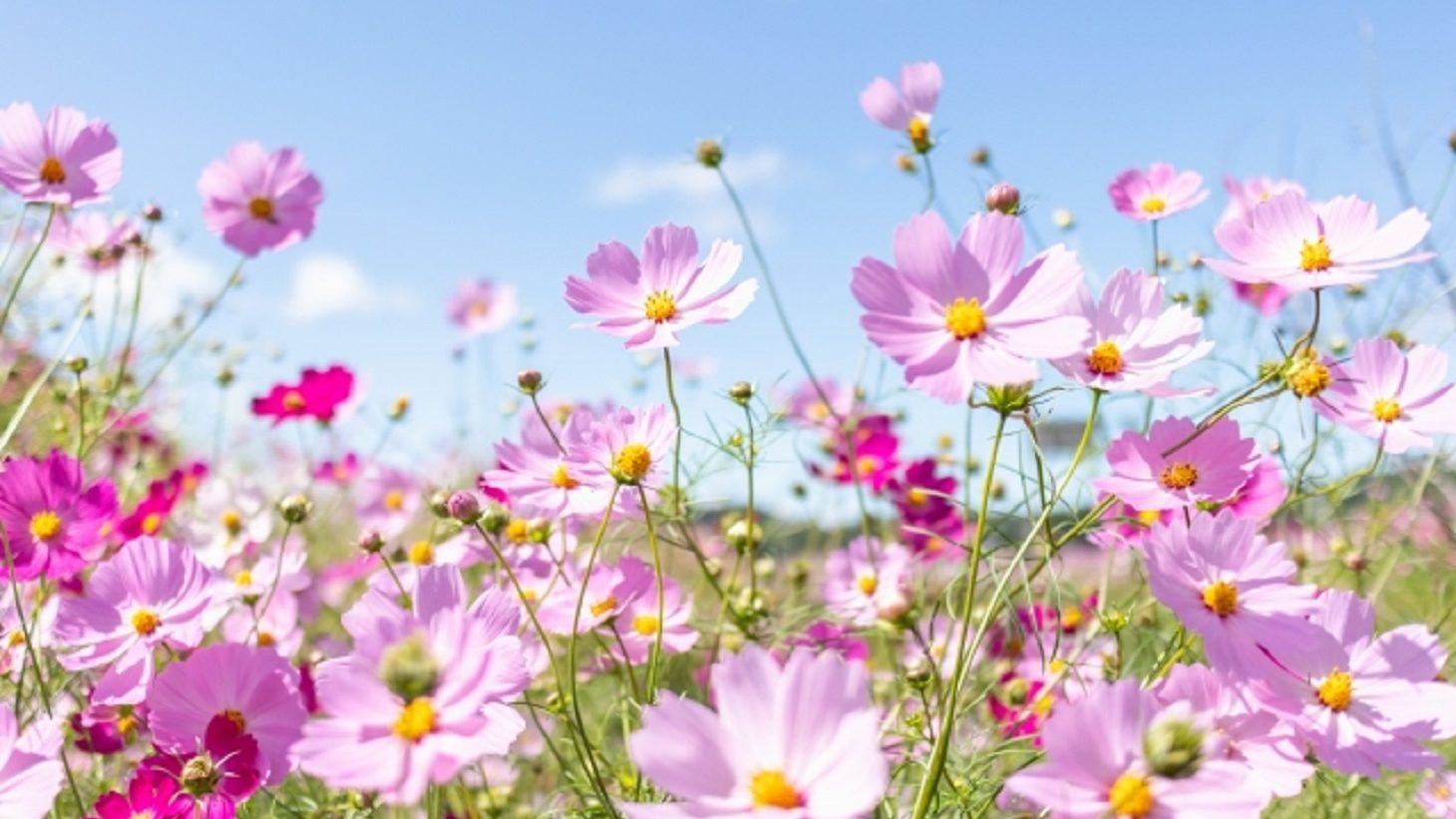 コスモスの花と秋の青空