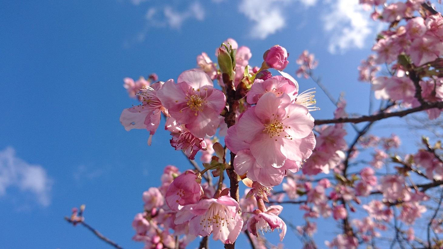 河津桜の花びら