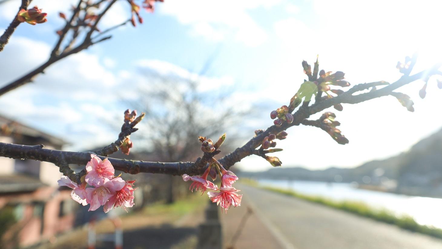 咲きかけの桜
