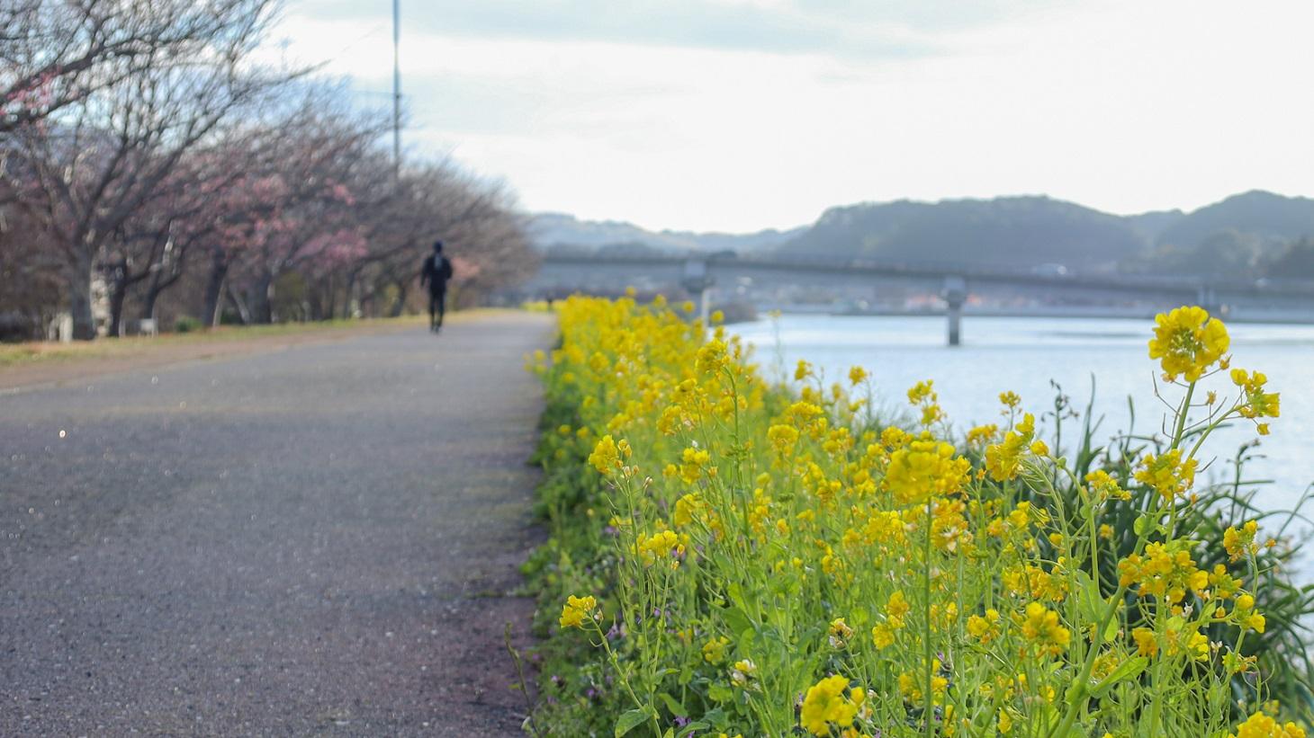 桜づつみ遊歩道
